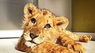 Lion cub abused at circus gets second chance