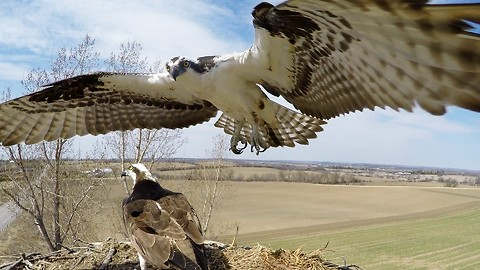 Curious Osprey perches on top of hidden GoPro