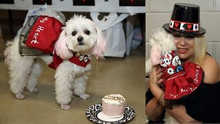 Barking mad! Fashion-loving pampered pooch with over 200 dresses, tutus and outfits celebrates casino themed birthday party  - Video