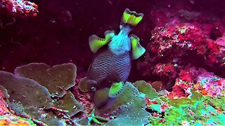 The titan triggerfish commands respect from scuba divers for good reason