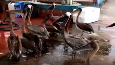 Hungry pelicans swarm kindly fishermen at Galapagos market