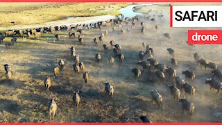 Majestic African animals in their natural habitat caught on camera with a drone