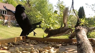 Polite talking crow can't befriend grumpy squirrel