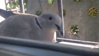 Man Discovers Pigeon Mom and Baby Outside His Window - Video