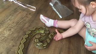 2-year-old plays with 6 foot long pet python  - Video