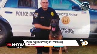 Police dog recovering after stabbing - Video
