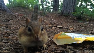 Thieving Chipmunk Loves Candy