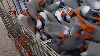 This Army Of Duck Squeaky Toys Is Out To Get Us - Video