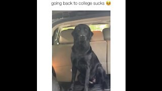 Dog wants to go to college with owner, jumps in back of car