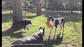 Dogs have fun playing keep away with delivery box