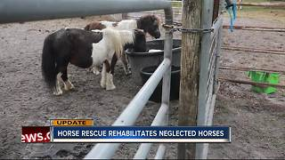 Miniature horses rescued from Polk vets now in good hands - Video