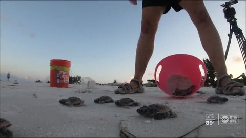 Hundreds of sea turtle nests relocated to make room for beach replenishment project on Anna Maria Island