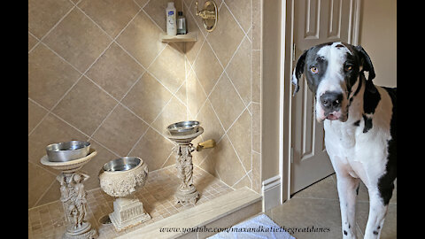 Loving Great Danes Means You Never Pee Alone