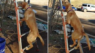 Skillful dog climbs up ladder with ease