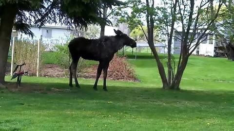 Family Has Dangerously Close Encounter With Wild Bull Moose