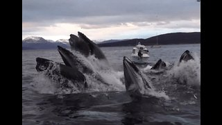Humpback Whales Work Together for Their Catch of the Day