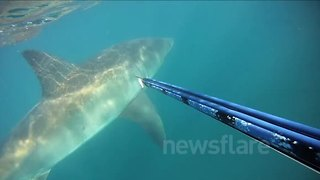 Great White Shark Gives Man A Fright After Unexpected Encounter - Video