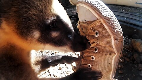 Adorable coatis absolutely love their caretaker's shoes