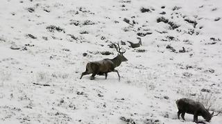Red deer stags forage as snow falls in Scottish Highlands