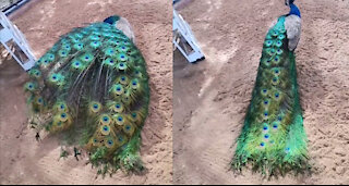 Peacock Tremendously Showing Off