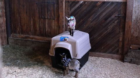 Baby Goats Have A Pajama Party