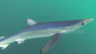 Sharks bump snorkeler off coast of Cornwall, UK - Video