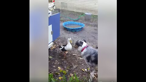 Adorable playtime between dog and duck buddies