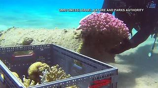Israel moves coral from the beach while site is cleaned