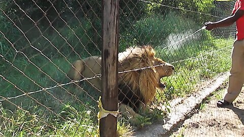 De-ticking an angry rescued lion is scary business