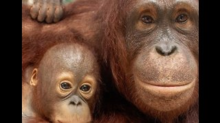 Rescued Orangutan Becomes Surrogate Mother to Orphaned Infant - Video