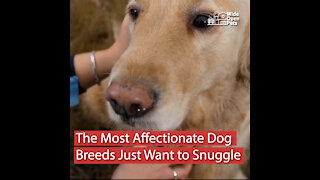 15 Affectionate Dog Breeds Always Ready to Snuggle