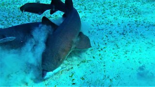 Swimmers witness close up shark fight over a fish head in Belize