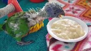 Baby Lorikeet Really Loves Her Food - Video
