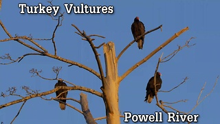 Turkey Vultures  - Video
