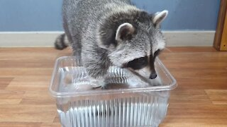 Pet raccoon gets adorably pranked by his owner