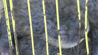 Indonesian police catch illegal wildlife trader with haul of exotic species - Video