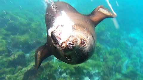 Enormous male sea lion charges at swimmer