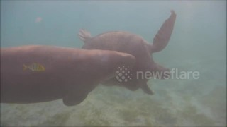Dugong launches attack on sea turtle - Video