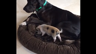 Mini Pig joins Great Dane on dog bed to cuddle - Video