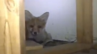 Rescuer Finds Fox Chilling in Melbourne Shop - Video