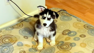 8-week-old Siberian Husky reacts adorably after first bath