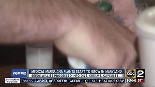 Medical marijuana plants growing in Maryland
