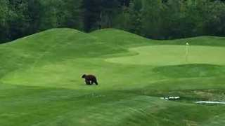 Mama Bear and Cub Spotted Crossing Trickle Creek Golf Course in British Columbia - Video