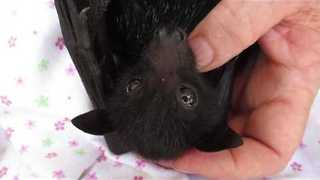Baby Bat Loves the Taste of Fruit - Video