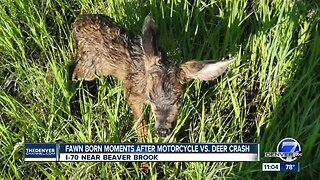 Fawn born shortly after mother killed in car crash