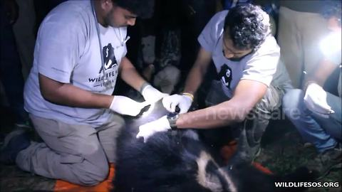 Rescuers battle to save bear choking in primitive snare