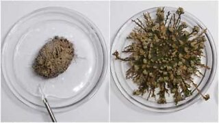 Plant springs back to life after absorbing water