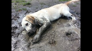 Happy Yellow Labrador retriever is playing into the mud