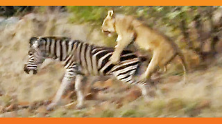 Lions Kill Zebra While Ousting Young Males from Pride! - Video