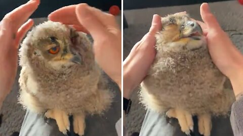 Adorable 4-week-old owl loves to be pet